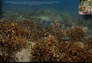 The last staghorn coral reef off Ft. Lauderdale in 13 feet of water. Click to zoom in.